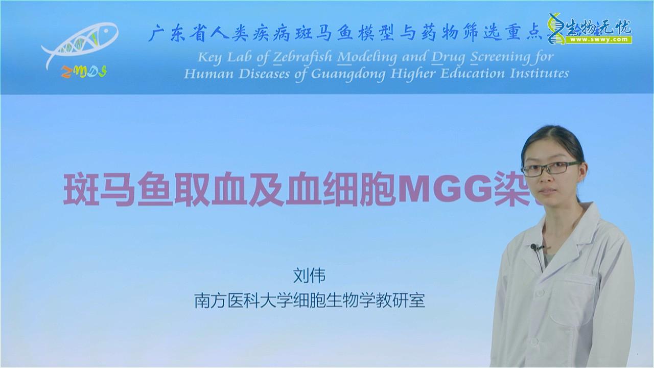 刘伟:斑马鱼取血及血细胞MGG染色