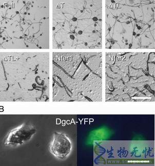 酸或可揭示真核生物细胞