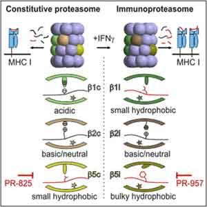 科学家首次揭示免疫蛋白酶体的晶体结构
