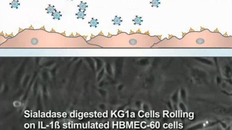 E选择素介导的白细胞滚动到微血管内皮的生理分析